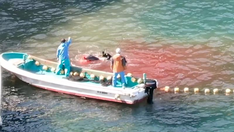 Two man in skiff guide a diver as he kills a dolphin which has blood coming out of its nose. The blue water is turning red.