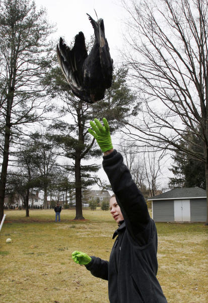 United States Department of Agriculture Wildlife Biologist Nicole Rein lifts a black vulture carcass in Bridgewater, N.J., Monday, March 11, 2013, as it is hoisted up in a tree in a tried-and-true method of driving away flocks of damaging buzzards. (AP Photo/Mel Evans)