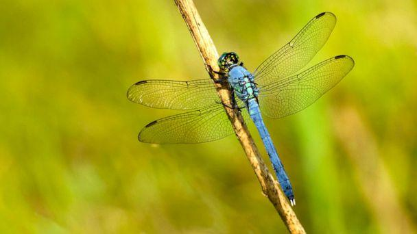 PHOTO: Eastern Pondhawk dragonfly (Nnehring/Getty Images, FILE)