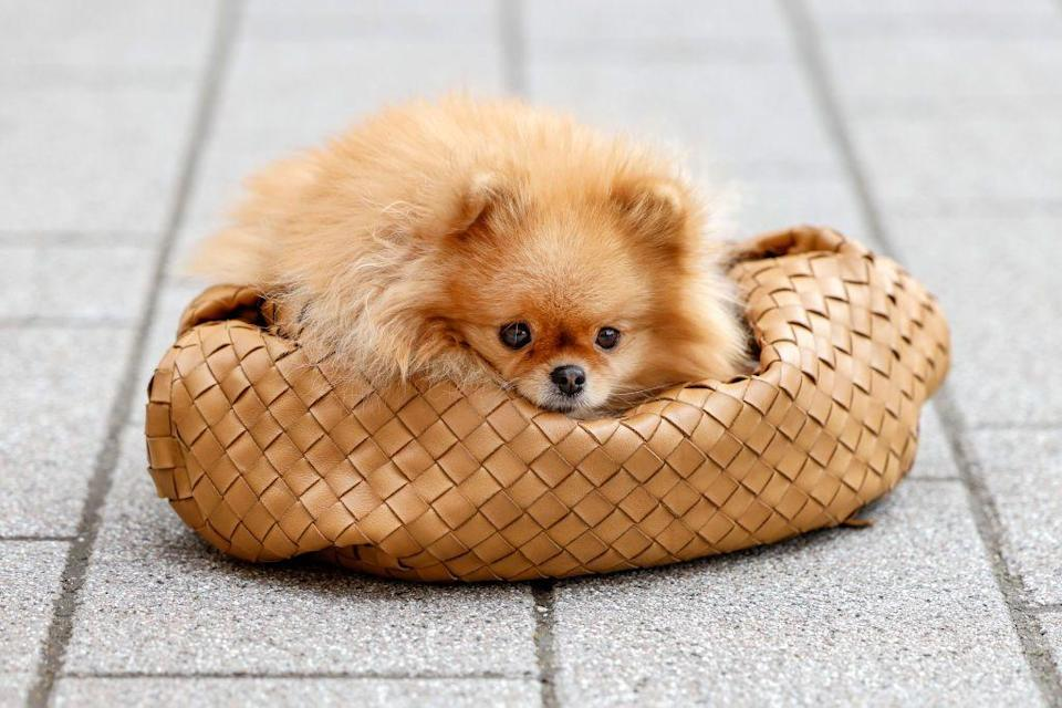 <p>These fluffy lightweights make up for their small stature with their big, bold personalities. Pomeranians are known for being smart and alert, which typically makes them easy to train. Poms tend to be startled by young children's sudden movements but they thrive in families with older children. </p><p><strong>Weight: 3-7 pounds</strong></p>