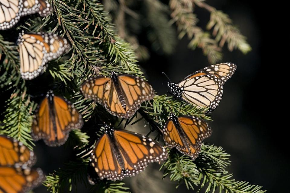 Monarch butterflies in Angangueo, Mexico on December 10, 2008 (AFP Photo/Mario Vazquez)