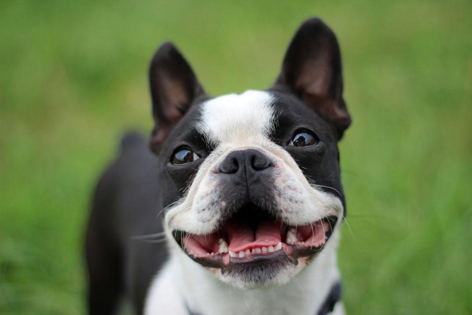 "<p>If you're a social butterfly looking for a dog to take on the town, a Boston Terrier might be a good breed. They're outgoing dogs with <a href=""https://www.aspcapetinsurance.com/blog/2017/april/03/fun-facts-about-boston-terriers/"" rel=""nofollow noopener"" target=""_blank"" data-ylk=""slk:a good deal of energy"" class=""link rapid-noclick-resp"">a good deal of energy</a>. ""This isn't the dog for the couch potato,"" Ellis says.</p>"