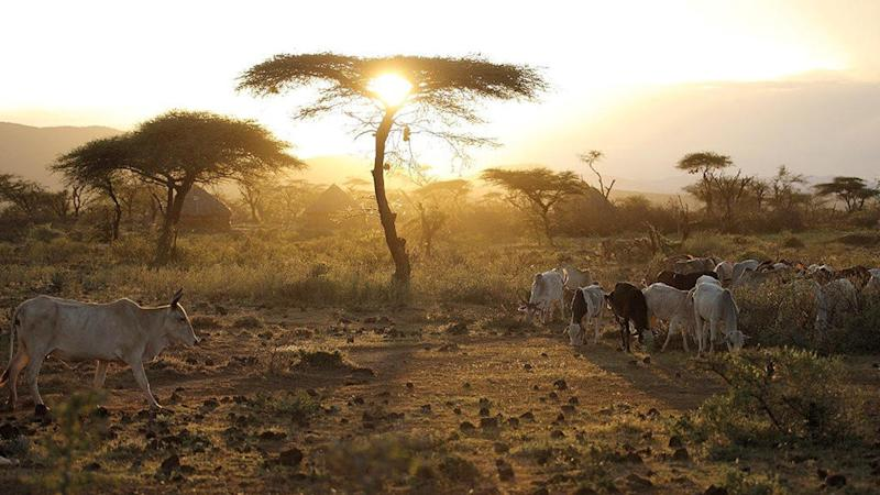 Genetic traits of indigenous African cattle must be respected - scientist