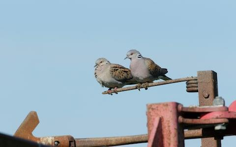 Farmers should be compensated to save the turtle dove, the RSPB has said - Credit: RSPB