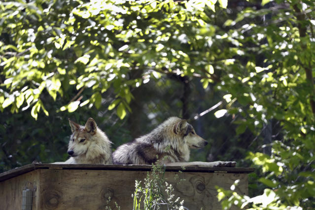 Mexican gray wolves rest atop their den at the Endangered Wolf Center in Eureka, Mo., on Monday, May 20, 2019. With such small numbers in the wild, biologists say poaching has a big effect. Over the last two decades, more than half of Mexican wolf deaths and about one in four red wolf deaths resulted from gunshots or were otherwise deemed illegal, The Associated Press found. (AP Photo/Jeff Roberson)