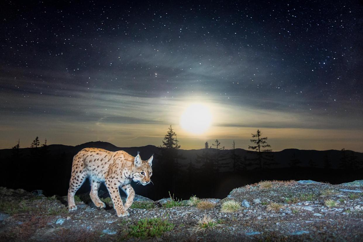 A homemade camera trap captures a roving northern lynx