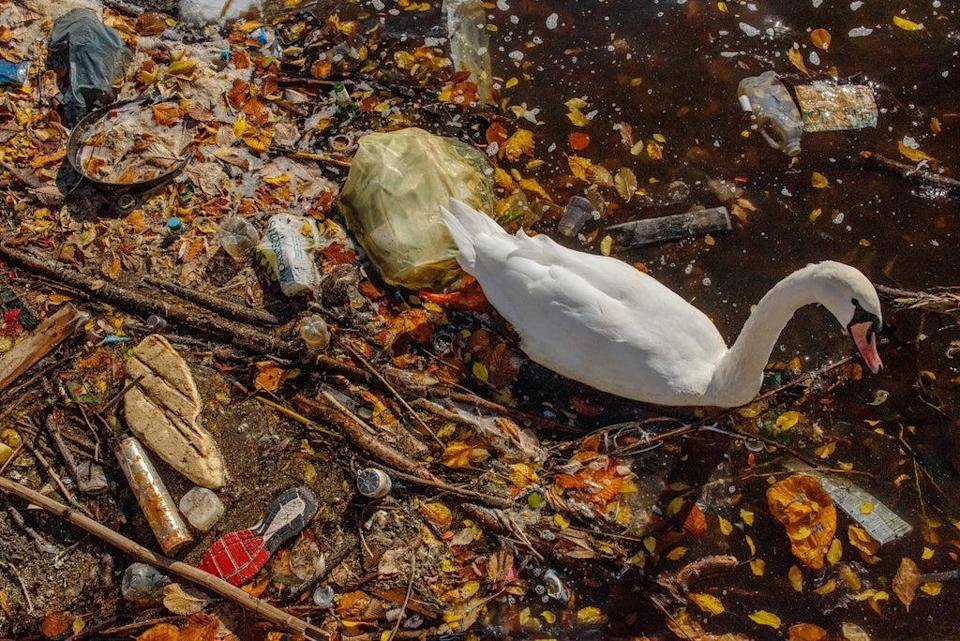 A mute swan paddles through plastic in Manchester. Plastic pollution is one of the most visible signs of the climate and nature crisis. Many waterbirds are dying as a result of pollution – whether microplastics or toxic algae due to rising temperatures (Sam Hobson/WWF-UK)