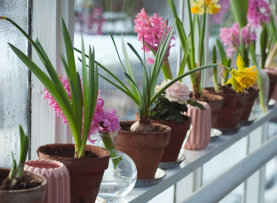 Garden trends: windowsill garden potted bulbs