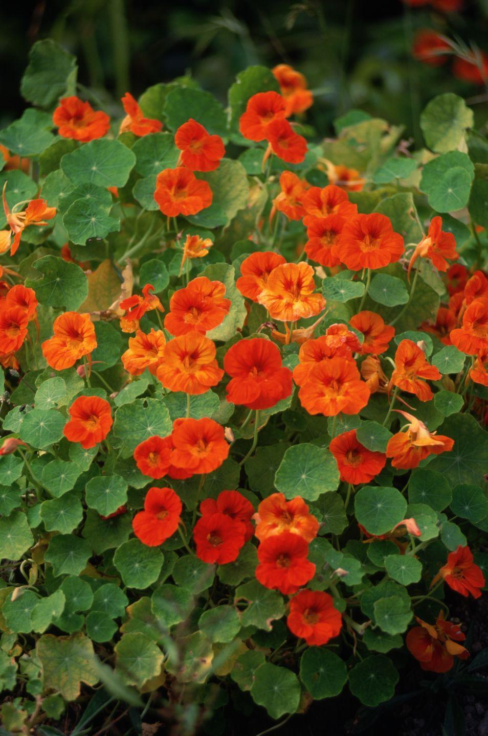 """<p>These cheery annuals are easy to grow from seed. (Soak them first overnight to help them sprout faster.) Their beautiful round leaves and cheery flowers work well in containers and beds, but they also can be trained up a trellis. Bonus: The leaves and flowers are edible! They like full sun. </p><p><a class=""""link rapid-noclick-resp"""" href=""""https://go.redirectingat.com?id=74968X1596630&url=https%3A%2F%2Fwww.burpee.com%2Fflowers%2Fnasturtium%2Fnasturtium-alaska-mix-46920A.html%3Fgclid%3DCjwKCAjwv_iEBhASEiwARoemvGqOJZPWDL4JGsMhzgJoNK9Fl2FYilNLQvU_lMys3ssI38FTT4ZvKBoCTvMQAvD_BwE&sref=https%3A%2F%2Fwww.countryliving.com%2Fgardening%2Fgarden-ideas%2Fadvice%2Fg1456%2Ffast-growing-vines%2F"""" rel=""""nofollow noopener"""" target=""""_blank"""" data-ylk=""""slk:SHOP NASTURTIUMS"""">SHOP NASTURTIUMS</a></p>"""