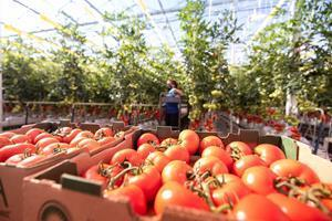AppHarvest's sustainably grown Tomatoes on the Vine first will be available in Kroger stores, and the company expects the tomatoes will be on the shelves of other national retailers in the near future.