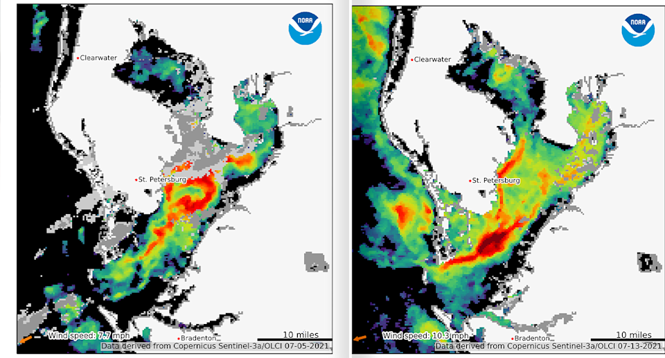 Satellite images from July 5 and July 13 show the spread of chlorophyll in Florida's waters. Source: NOAA