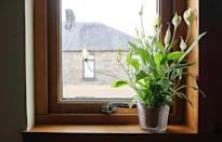 """Plants and flowers are a great way to add some beautiful greenery to your home, but if you're a dog owner, you need to think twice about the <a href=""""https://bestlifeonline.com/terrifying-plants/?utm_source=yahoo-news&utm_medium=feed&utm_campaign=yahoo-feed"""" rel=""""nofollow noopener"""" target=""""_blank"""" data-ylk=""""slk:types of plants"""" class=""""link rapid-noclick-resp"""">types of plants</a> you buy. <strong>Rachel Barrack</strong>, DVM, founder of <a href=""""http://www.animalacupuncture.com/"""" rel=""""nofollow noopener"""" target=""""_blank"""" data-ylk=""""slk:Animal Acupuncture"""" class=""""link rapid-noclick-resp"""">Animal Acupuncture</a> in New York City, says you should avoid lilies, daffodils, dumb cane, tulips, and holly, as most of these can cause intestinal issues for your dog. The AMVA also warns against sago palms, azalea, rhubarb, and fungi."""