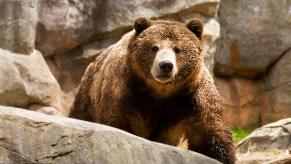 A brown bear sitting on a rock