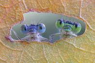 <p>Damselflies look out from a hole in a leaf. (Rex features) </p>