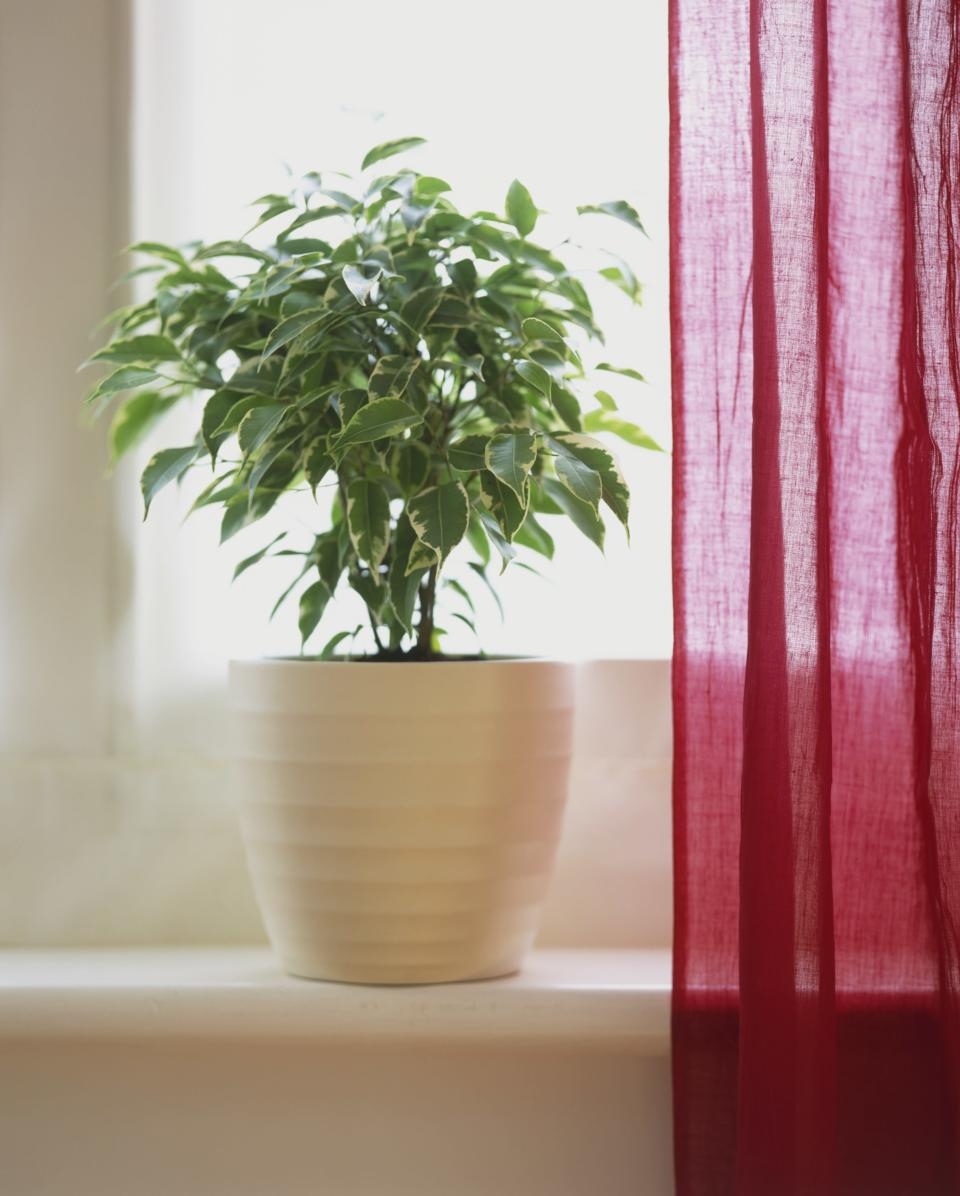 <p>Lots of pollutants come from basic household items such as traditional furniture and carpeting. Weeping figs are the best at removing tons of the nasty things including benznee, formaldehyde and trichloroethylene.<br><i>[Photo: Getty]</i> </p>