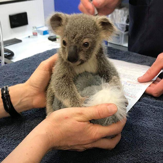 Kevin, a baby koala injured in the Pechey bushfire, is now in the care of the RSPCA Queensland Wildlife Hospital. (Photo: WWF Australia)