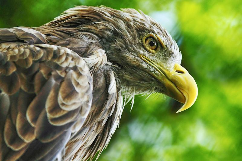 Dutch cops are now using eagles to take down rogue drones