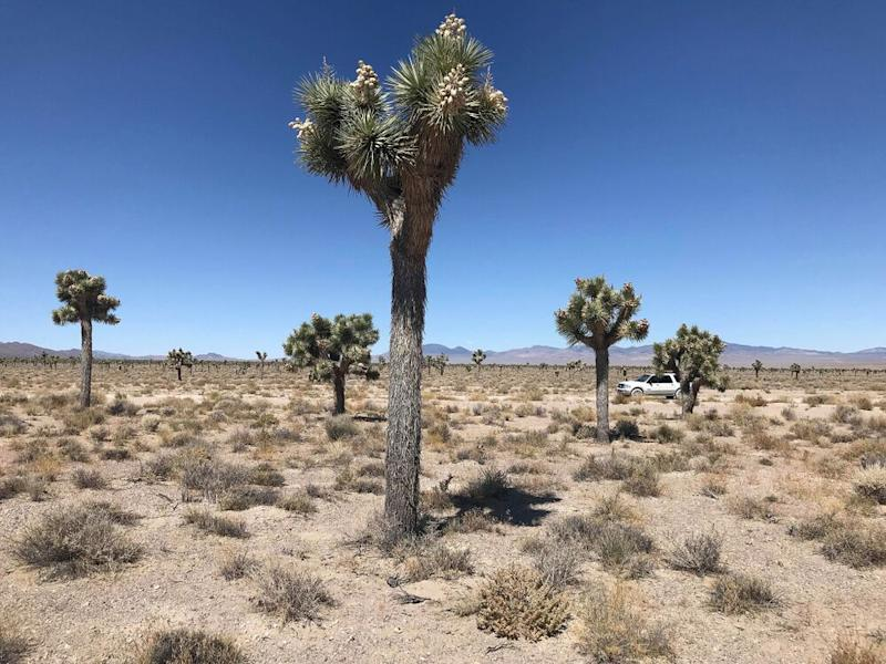 Mutated Joshua trees. | Jordan Runtagh