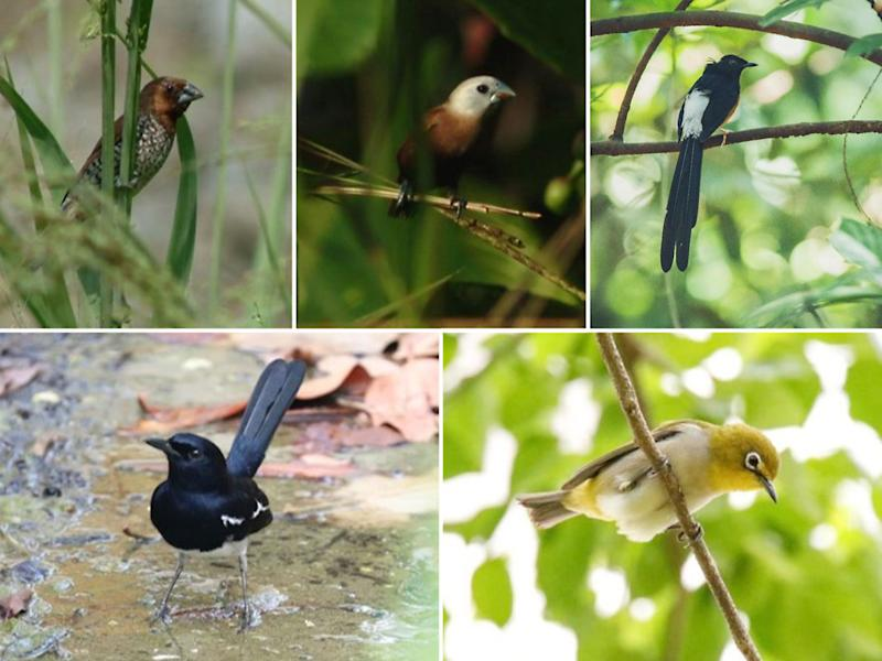 The 815 birds recovered comprised five species: (clockwise from top left) the Scaly-breasted Munia, White-headed Munia, White-rumped Shama, Oriental White-eye and Oriental Magpie-Robin. (PHOTOS: NParks)