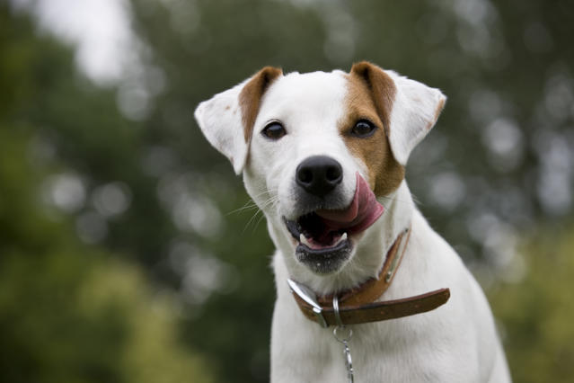The Parsons Russell Terrier could also find itself on the Kennel Club's Vulnerable Native Breeds list. (Getty)