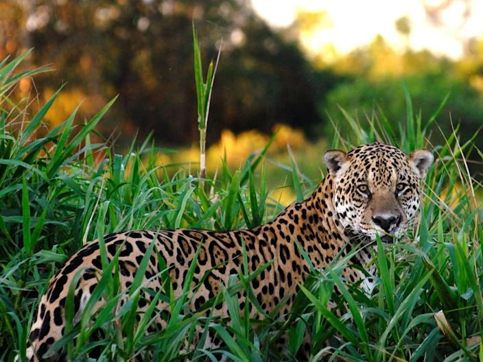 A 2018 study concluded the US only had enough land available for six jaguars to live in the wild (Getty)