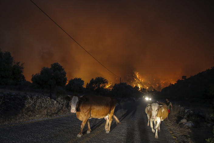 A man walks away with his animals from an advancing fire that rages Cokertme village, near Bodrum, Turkey, Monday, Aug. 2, 2021. For the sixth straight day, Turkish firefighters battled Monday to control the blazes that are tearing through forests near Turkey's beach destinations. Fed by strong winds and scorching temperatures, the fires that began Wednesday have left eight people dead. Residents and tourists have fled vacation resorts in flotillas of small boats or convoys of cars and trucks.(AP Photo/Emre Tazegul)