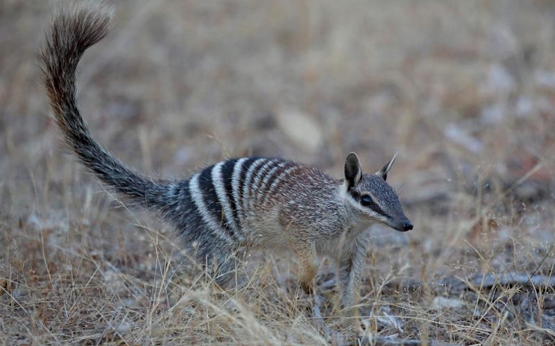 A Numbat in Western Australia - Credit: Auscape/UIG via Getty Images