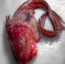 <p>Incredibly, this red fish is one of the more normal-looking creatures caught up in Roman Fyodorov's net (CEN) </p>
