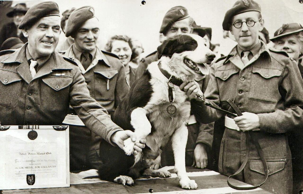 In this photo released Thursday Oct. 25, 2012 by The People's Dispensary for Sick Animals (PDSA) who are the awarding body responsible for the Dickin Medal for animal gallantry. Crossbred collie dog named Rob, that made over 20 parachute jumps while on secret war-work, and took part in the North African landings, after being presented with the Dickin Medal for animal gallantry, in this Feb. 13, 1945 file photo. The latest animal to receive the Dickin Medal is announced Thursday Oct. 25, 2012, a bomb-sniffing army springer-spaniel dog named Theo, who died in Afghanistan on the day his handler was killed has been posthumously honored with the Dikin Medal, Britain's highest award for animal bravery, during a ceremony in London Thursday Oct. 25, 2012. Theo worked for five months in Afghanistan with Royal Army Veterinary Corps Lance Cpl. Liam Tasker, searching out roadside bombs, but Tasker was killed in a firefight with insurgents in Helmand Province in March 2011, and Theo the dog died hours later. (AP Photo)