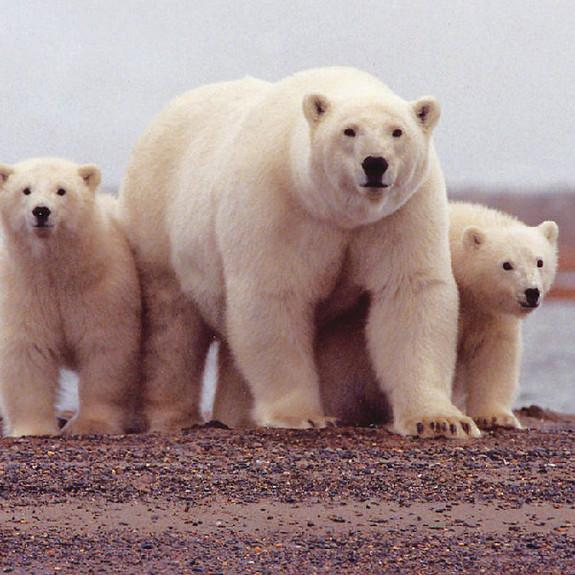 Ancient Warming May Have Reunited Polar and Brown Bears, for a Bit