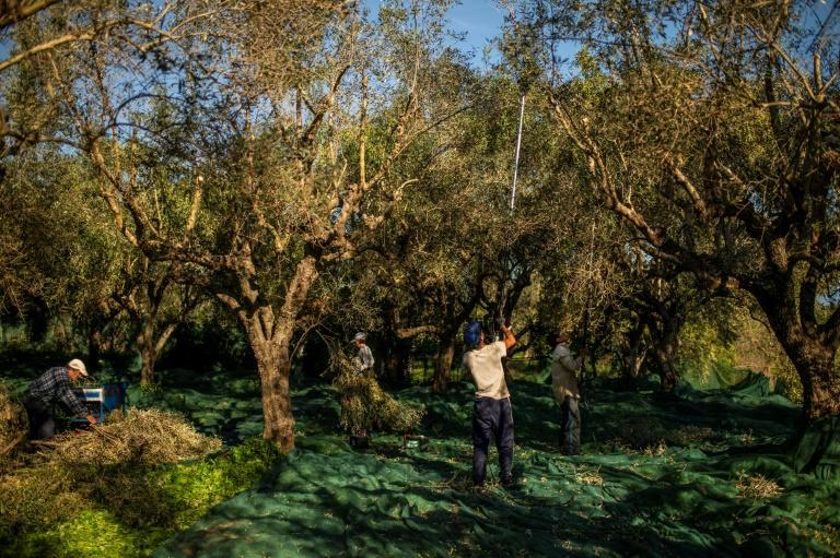 Many Greek olive producers are small-scale operations that lack long-term strategy