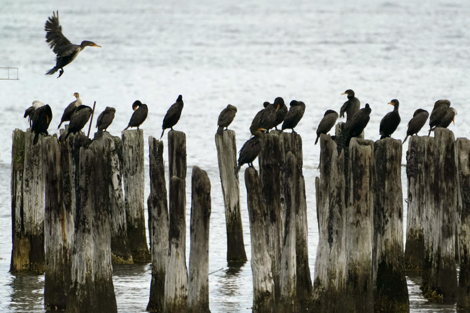 FILE - In this Aug. 18, 2021, file photo a cormorant flies in looking for an available piling on which to land, in Portland, Maine. The seabirds make a living of diving for small fish and crustaceans. The Biden administration said Wednesday, Sept. 29, 2021, it will draft rules to govern the killing of wild birds by industry and resume enforcement actions against companies responsible for deaths that could have been prevented. (AP Photo/Robert F. Bukaty, File)