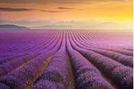 <p>These seemingly endless rows of lavender look so soft and like the perfect place for a nap.</p>