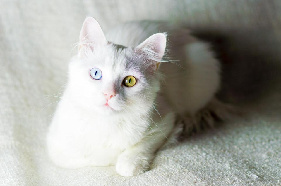 """<p><a href=""""https://cfa.org/turkish-angora/"""" rel=""""nofollow noopener"""" target=""""_blank"""" data-ylk=""""slk:Turkish Angora"""" class=""""link rapid-noclick-resp"""">Turkish Angora</a> cats are absolutely beautiful and delicate in their appearance. You can find these kitties in their popular white coat or in any combination of coat color, including tortoiseshell or blue-cream.</p>"""