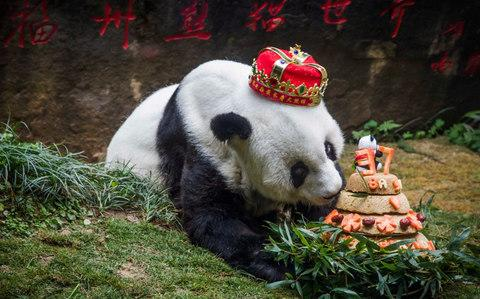 Giant panda 'Basi' sniffing a birthday cake prepared by her keepers - Credit: China OUTSTR/AFP/Getty Images
