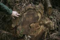 National Park Service Ranger Jeff Denny shows the damage from redwood burl poaching in Orick, California June 3, 2014. Redwood burls are reproductive growths on the tree that can sprout clones and are highly sought after for their unique grain patterns popular in high end furniture and artwork. Recent poaching for redwood burls in the Redwood National Park and Northern California State Parks forced officials to close the Newton B. Drury Scenic Parkway, a ten mile drive through the old growth Redwood forest, after sunset, according to the National Park Service. Picture taken June 3, 2014. REUTERS/Nick Adams (UNITED STATES - Tags: ENVIRONMENT)