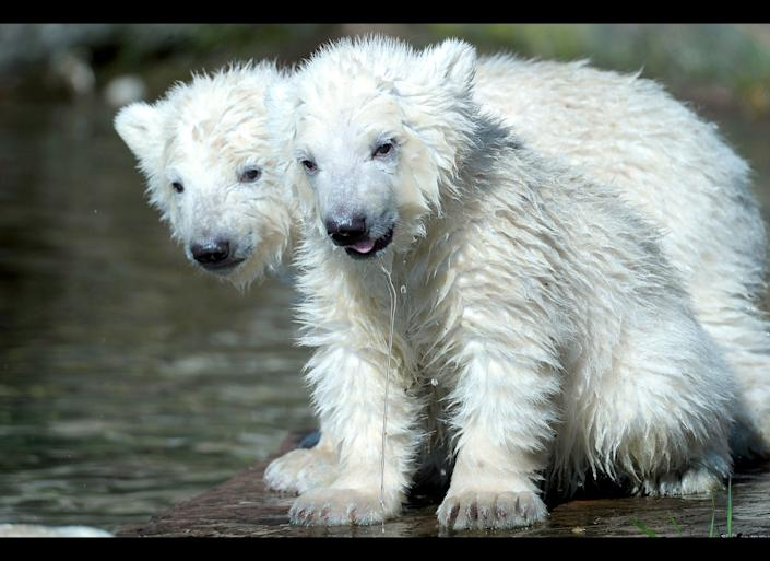 Two polar bear cubs Gregor and Aleut play at the Tiergarten zoo in Nuremberg, southern Germany, on March 24, 2011.