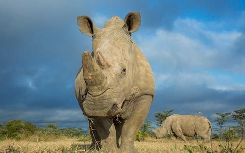 A Southern White Rhinoceros is likely to act as a surrogate - Credit: Barcroft Media