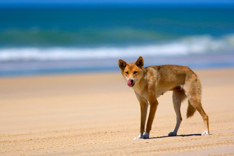 A dingo pictured on Fraser Island. Source: AAP, file.