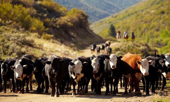 "<span class=""element-image__caption"">Cattle in western Colorado.</span> <span class=""element-image__credit"">Photograph: John P Kelly/Getty Images</span>"