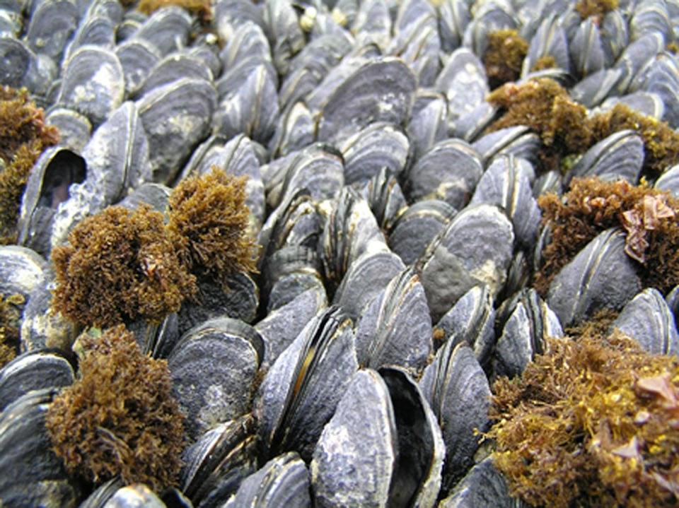 Dead mussels and live mussels with eroded shells and gaping open, possible symptoms of stress from declining ocean pH. (C. A. Pfister)