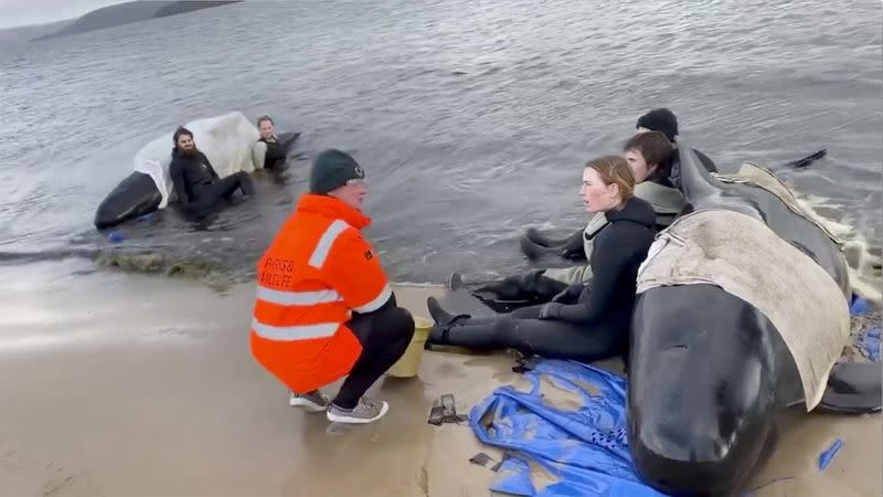 Whale rescue efforts take place at Macquarie Heads in Tasmania