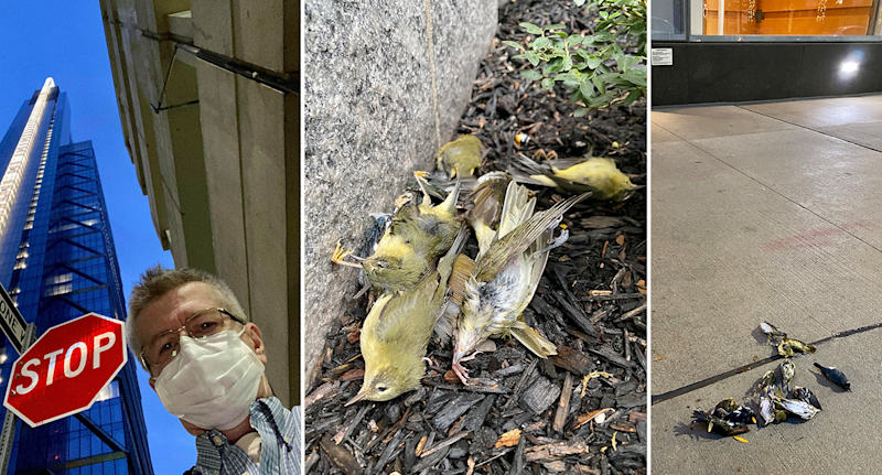 Left - Mr Maciejewski. Middle - Dead birds on the ground. Right - More dead birds on the pavement.
