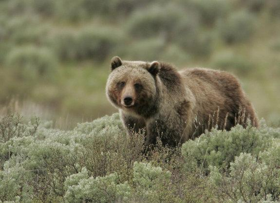 Grizzly bears live throughout the northern and western portions of North America. The omnivorous creatures eat both berries, fish and large mammals where they are available.