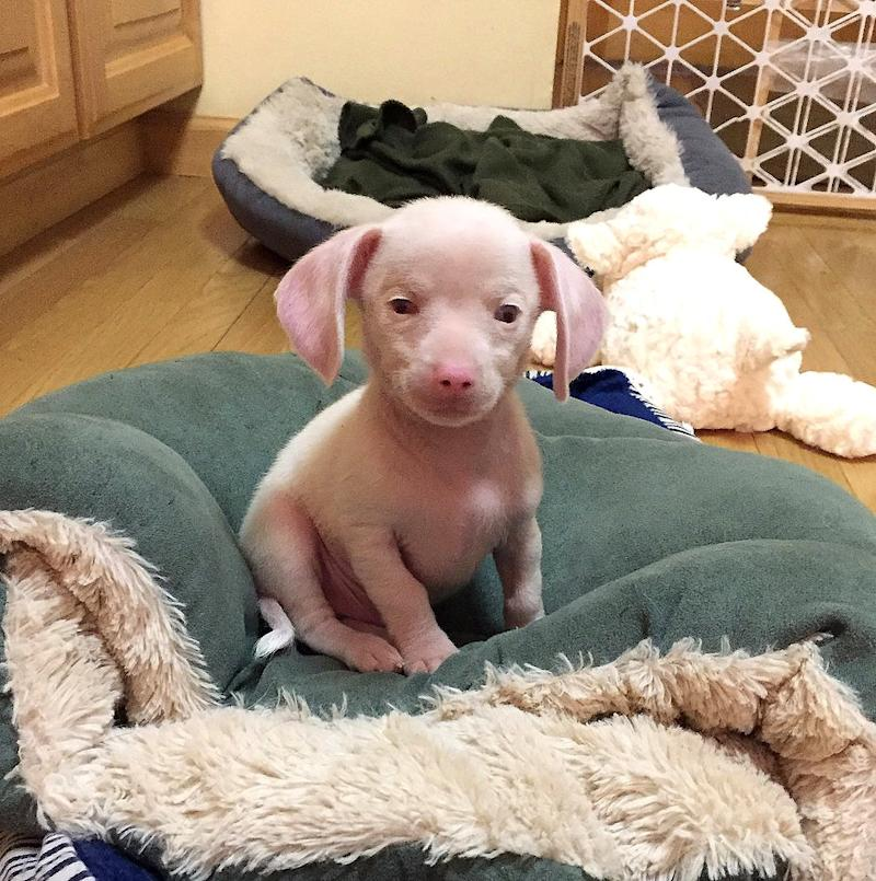 Pink Puppy Who Can't Hear or See Is Inspiring Kids to Deal with Differences: Meet Piglet!