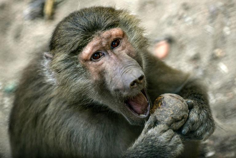 Paris zoo evacuated after baboons escape enclosure