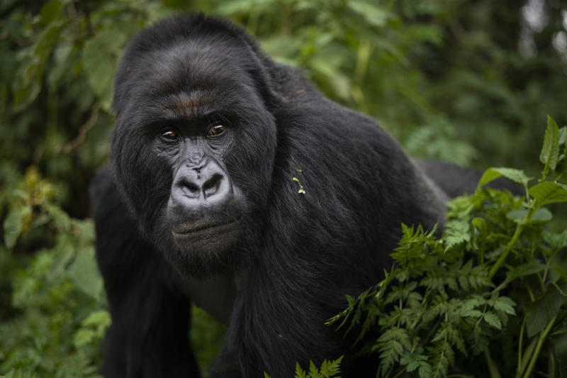 A silverback mountain gorilla named Segasira walks in Volcanoes National Park, Rwanda. (Photo: Felipe Dana/AP)