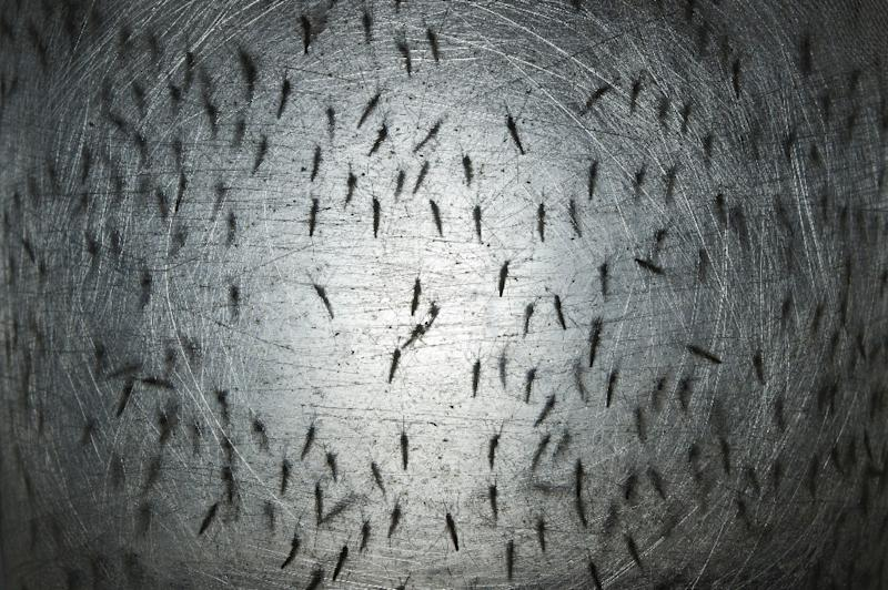 """The Oxitec mosquito developed by Intrexon is not technically a """"gene drive,"""" but cuts down on the population of mosquitoes by introducing altered males whose offspring cannot survive (AFP Photo/Nelson Almeida)"""