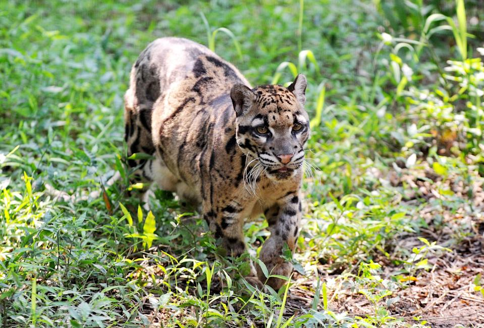 The 'extinct' Asian big cat, similar to the clouded leopard (pictured above at Taipei city zoo in 2013) was last seen in 1983. (Getty)