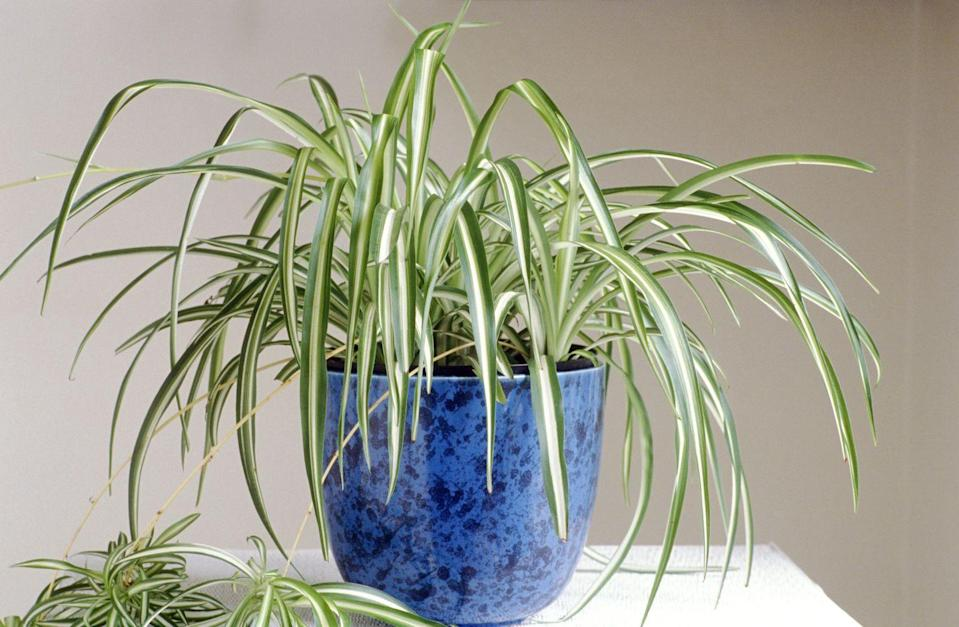 """<p>This plant's adaptability makes it super easy to grow and therefore quite popular — it's also easy to <a href=""""http://www.gardeningknowhow.com/houseplants/spider-plant/spider-plant-care-gardening-tips-for-spider-plants.htm"""" rel=""""nofollow noopener"""" target=""""_blank"""" data-ylk=""""slk:propagate and share"""" class=""""link rapid-noclick-resp"""">propagate and share</a> with others. It can stand up to a lot of neglect, and will thrive in indirect light.</p>"""